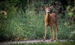 Das Rehwild geht auf Partnersuche - damit steigt die Gefahr von Wildunfällen