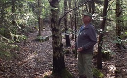 Nordamerikanische Gelbbirken in heimischer Flora