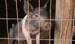 Unbekannte geben sich als Tierschützer aus und quälen Schweine