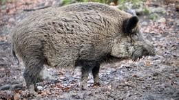 Eine Herde Wildschweine quert die Fahrbahn - es kommt zu zwei Unfällen!