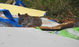 Zwischen Pappkarton und Kloschüssel: Rattenplage in der Domstadt