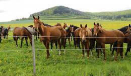 Pferdeherde am Dreienberg: Besonderes Schauspiel auf der Weide
