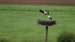 Nachwuchs bei Familie Storch in den Nassen Wiesen bei Meckbach