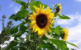 Und noch höher: Riesensonnenblumen mit 4,72 m! Noch mehr Leserbilder