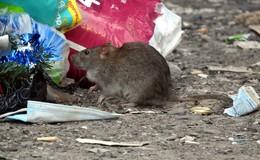 Es wimmelt und wuselt: Rattenplage in der Domstadt?